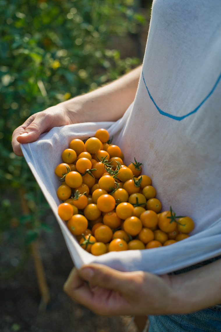 Farmer collecting Sungold tomatoes, Brooklyn Grange Rooftop Farm